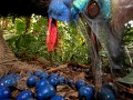 Southern Cassowary, an endangered species. Cassowaries are keystone species in norther Australian rain forests because of their long distance seed dispersal. No other animal can transport so many big seeds such long distances. Here a cassowary is feeding on fruit of the Blue Quandang tree.