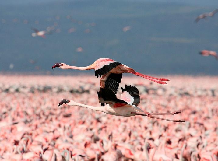 Flamingos flying