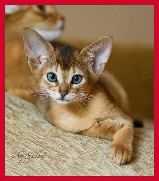 самые милые породы кошек (1)