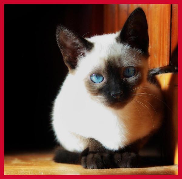 самые милые породы кошек (2)