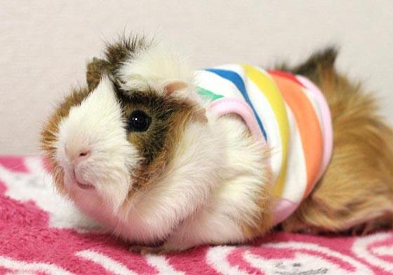 Морские свинки одежда на