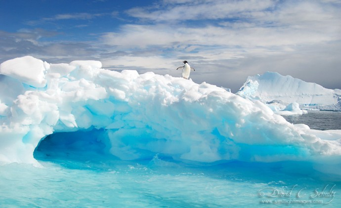 An Adelie penguin on top of an iceberg in Antarctica.