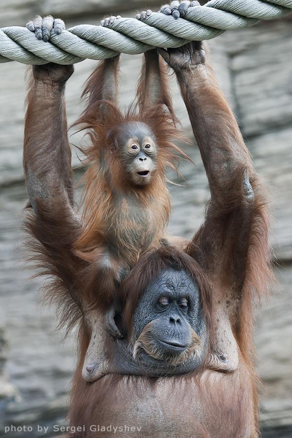 Happiness of a orangutan family