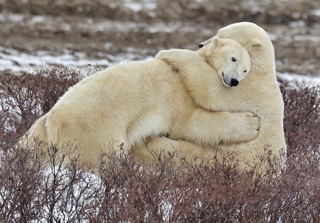 Я люблю белых медведей