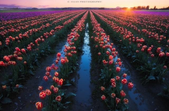Tulips @ skagit valley