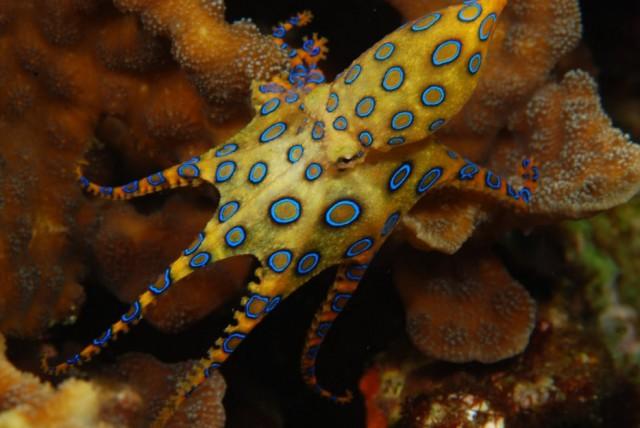 Фото самого ядовитого осьминога в мире