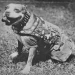 Сержант Стабби – героический пес Первой мировой войны