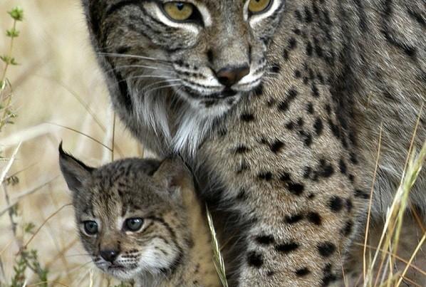 Картинки диких кошек на природе