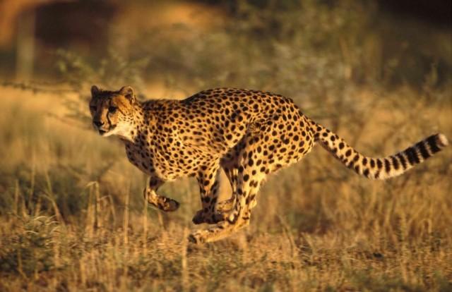 Золотая африканская кошка  редкая красавица