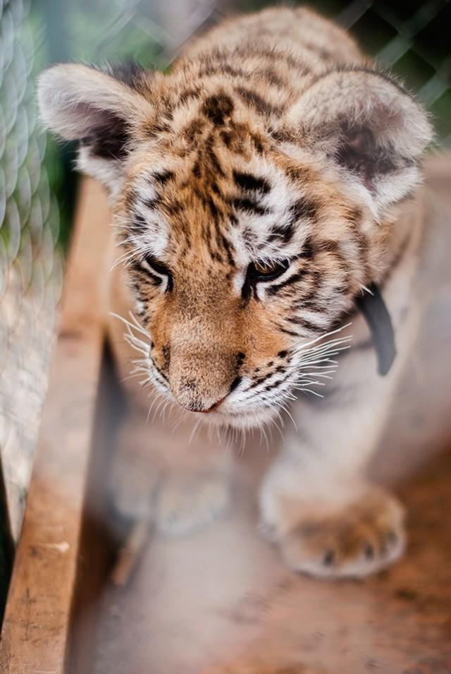 50 занимательных фактов о тиграх