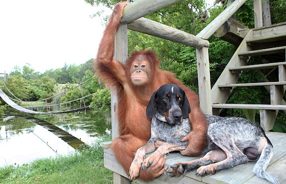 BEST OF FRIENDS - THE ORANGUTAN AND THE BLUE TICK HOUND