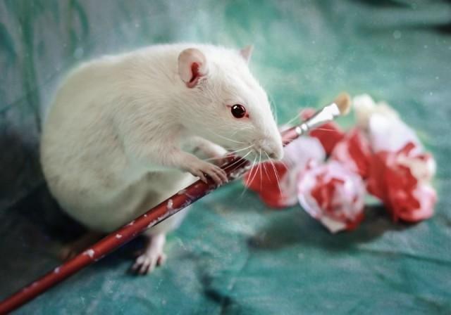 А вы знали что крысы – прирождённые