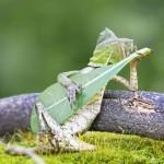 Самая музыкальная ящерица