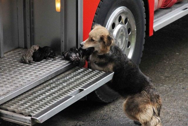 dog-saving-her-puppies-from-a-fire-chile