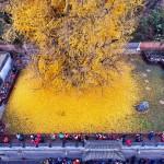 1400-летнее дерево превратило землю около буддийского храма в желтый океан