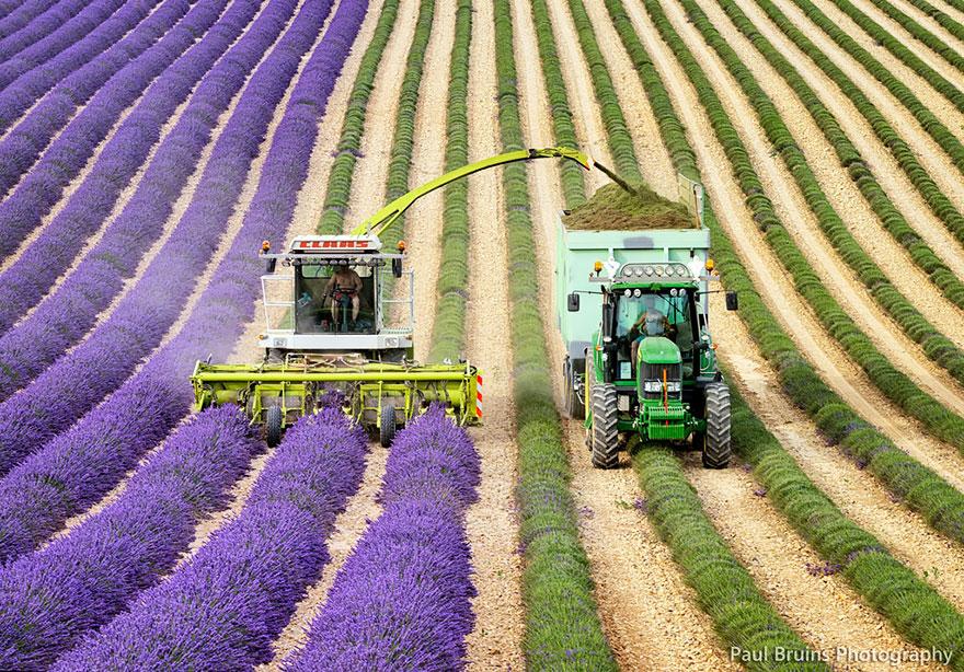 Выращивание лаванды в промышленных масштабах и сбыт 37