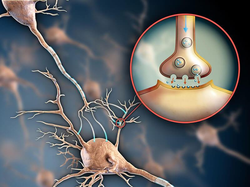 neurotransmisores Los neurotransmisores son los mensajeros químicos que liberan las neuronas, a través de la sinapsis, para poder transmitir información hacia otras neuronas, una célula muscular o una glándula.