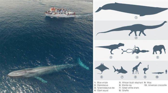 Член горбатого кита