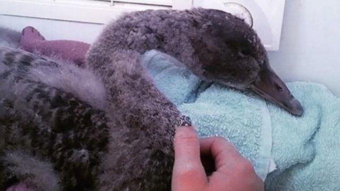 Отважный подросток спас умирающего лебедя, делая ему искусственное дыхание