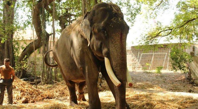 Слон, проживший в цепях 50 лет, был освобожден