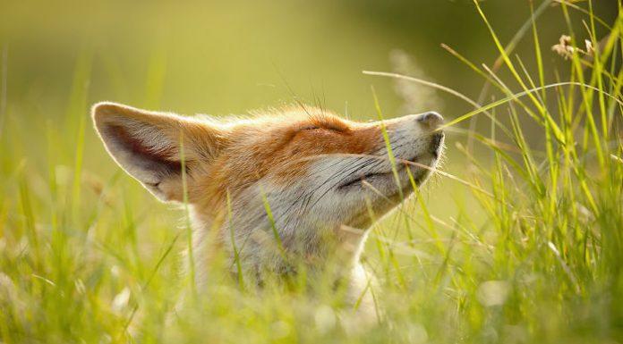 Вдумчивая лиса: как лисицы могут преподать нам несколько ценных уроков