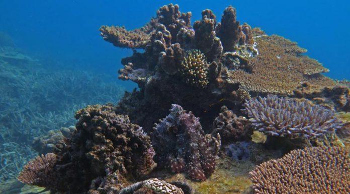 На фоне кораллового рифа скрывается осьминог. Найдите его!