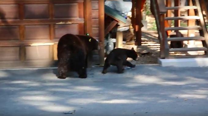 Парень играл на скрипке, чтобы угомонить медвежью семью, пытающуюся забраться в дом