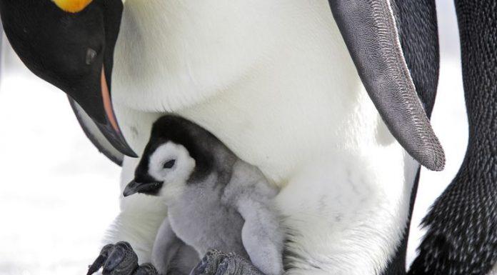 Удивительные факты о пингвинах, которые вы не знали