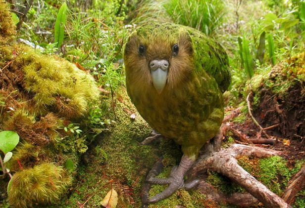 Какапо, самый крупный в мире нелетающий попугай
