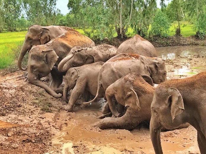 тайские слоны
