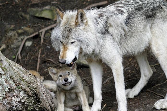 Какое место вы бы занимали в стае, если бы были волком?